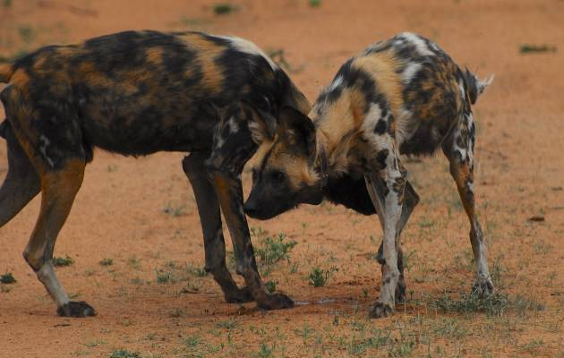 Wild dogs to be released in Limpopo reserve